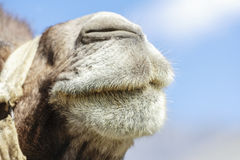 The face of camel Royalty Free Stock Photo