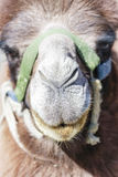 The face of camel Royalty Free Stock Photos