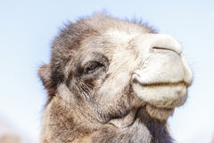 The face of camel Stock Photo