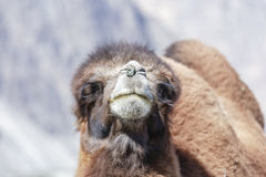 The face of camel Royalty Free Stock Photography