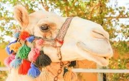 Face of Camel. Stock Photos