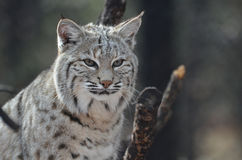Face of a Canadian Lynx. Gorgeous face of a Canadian Lynx Cat Stock Photography