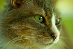 Face of cat. The face of a cat with green eyes Royalty Free Stock Photo