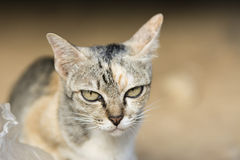 The face of the cat Royalty Free Stock Images