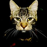 Cat face in the dark royalty free stock image