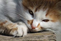 The face of a cat. Homemade fluffy ginger cat resting Stock Photos