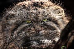 Face cat manul, Pallas`s cat royalty free stock photos