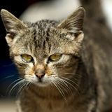 Face of a cat with yellow eyes. Little kitten photographed using a portrait lens. The face is in focus while background has a creamy bokeh stock images