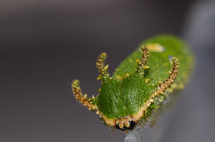 Face of Caterpillar Tawny Rajah butterfly Royalty Free Stock Photography