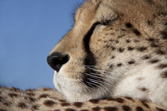 Face of a cheetah Royalty Free Stock Photo
