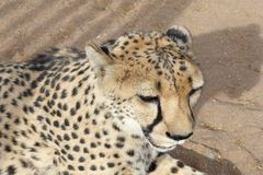 Face of a Cheetah details, Namibia. Face of a wild cheetah in close up in the wilderness, Namibia Royalty Free Stock Images