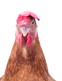 Face of chicken hen isolated white background Royalty Free Stock Images