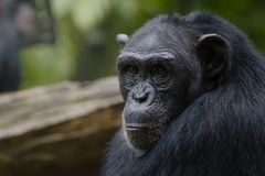 The face of a chimp. The portrait of an older chimpanzee royalty free stock photography