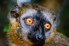 Face close up of Red-fronted Brown Lemur with beautiful eyes royalty free stock photography