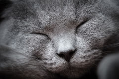 Face close-up of a young cute cat sleeping blissfully. The British Shorthair Stock Photo