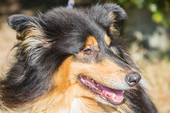 Face closeup of a collie dog Stock Images
