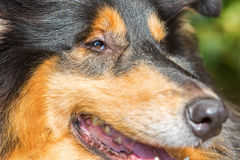 Face closeup of a collie dog Stock Photography