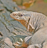 Face closeup of monitor lizard. The image is of Face closeup of Monitor Lizard at Corbett National Park, India showing the beauty of animals in their natural Royalty Free Stock Photo