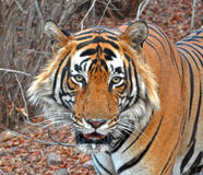 Face closeup of Wild Tiger. The image is of Face closeup of Wild Tiger at Ranthambhore National Park, India showing the beauty of animals in their natural Royalty Free Stock Images