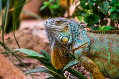 The face of a colorful iguana in closeup, popular tropical reptile pet from America royalty free stock image