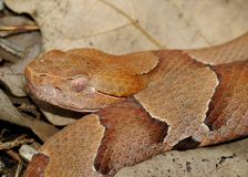 Face of a Copperhead Snake Stock Photography