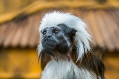 The face of a cotton top tamarin in closeup, tropical critically endangered monkey from Colombia. The face of a cotton top tamarin in closeup, a tropical royalty free stock photography