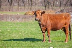 Face of a cow. Stock Photos