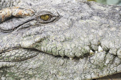 The face of a crocodile Royalty Free Stock Photo
