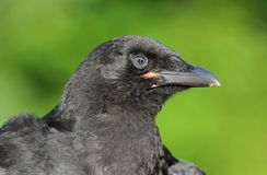 Face of crow Royalty Free Stock Images