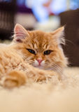 Face of a cute cat / kitten Stock Images