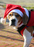 Face of a cute dog with long ears with hat of Santa Claus stock image