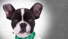 Face of a cute french bulldog puppy dog Stock Image