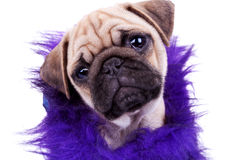Face of a cute pug puppy dog Royalty Free Stock Images