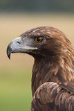 Face da águia dourada Imagens de Stock Royalty Free