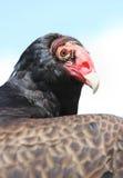 Face da ave de rapina Fotografia de Stock Royalty Free