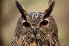Face da coruja de águia Fotografia de Stock Royalty Free