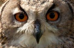 Face da coruja de águia Imagens de Stock Royalty Free