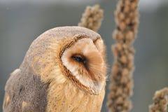 Face da coruja de celeiro que olha direita com goldenrod Imagens de Stock Royalty Free