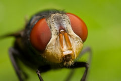 Face da mosca Fotos de Stock