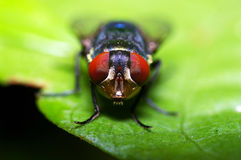 Face da mosca da casa Fotos de Stock