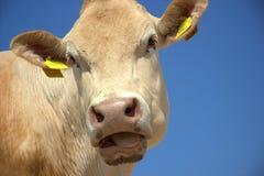 Face da vaca Fotografia de Stock