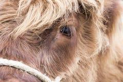 Face da vaca Imagens de Stock