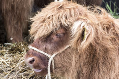 Face da vaca Imagens de Stock Royalty Free