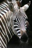 Face da zebra Foto de Stock Royalty Free