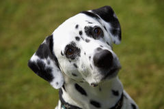 Face of a Dalmatian dog Royalty Free Stock Image