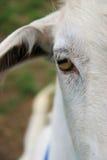 Face das cabras Fotografia de Stock