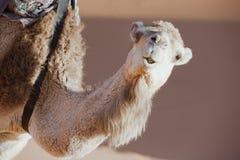 Face de um dromedary (camelo). fotografia de stock royalty free
