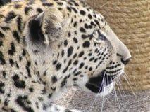 Face de um leopardo Fotografia de Stock