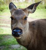 The face Deer Royalty Free Stock Photo