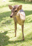 Face of deer mammal animal in park Stock Photo